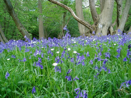 Bluebells in Short Wood
