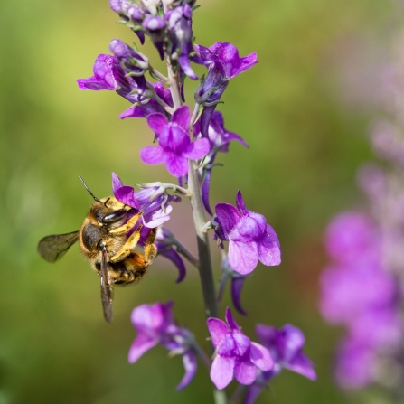 A wool carder bee feeding on toadflax