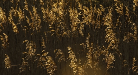 Reed bed by Chris Gomershall/2020VISION