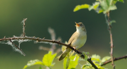 Grasshopper warbler by Amy Lewis