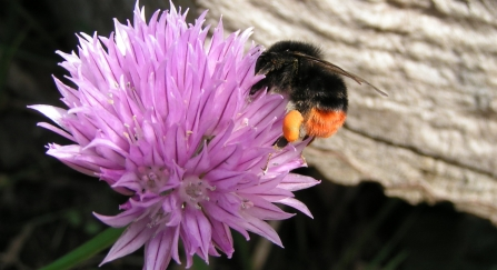 Red-tailed bumblebee on chives by Richard Burkmar