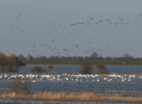 Wildfowl at Ouse Washes NR - Bob Parker