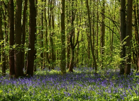 Bluebells at Waresley & Gransden Woods