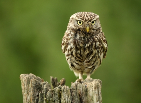 Little owl on fence post