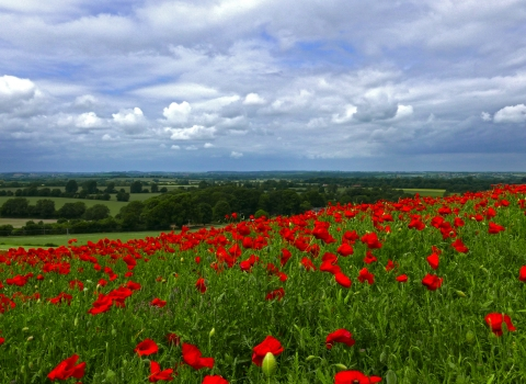 Poppies in the North Chilterns