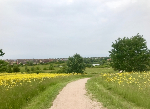 A path through a flowering meadow in Cambourne, full of yellow