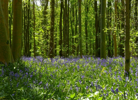Bluebells in Waresley & Gransden Woods