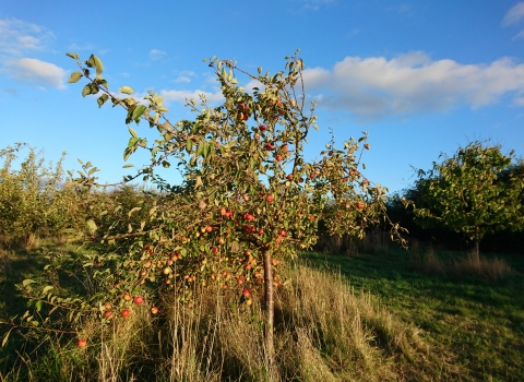 Apple tree in Cambourne Community Orchard