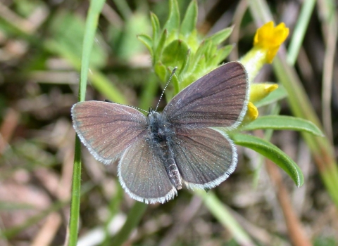 Small Blue Butterfly - credit The Wildlife Trust BCN